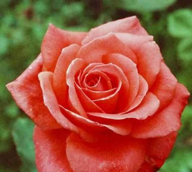 Роза Интерфлора фото