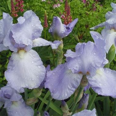 Ирис Blue Sapphire фото цена