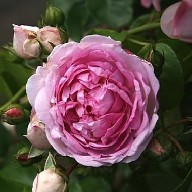 Роза Jasmina почтой