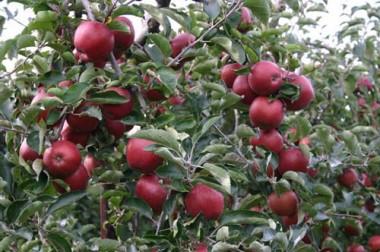 Яблоня Джонапринц фото цена