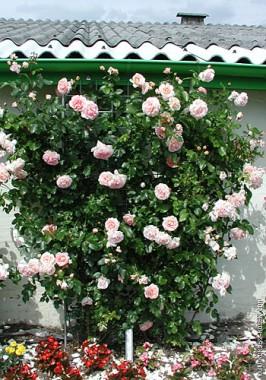 Роза плетистая Amaretto фото