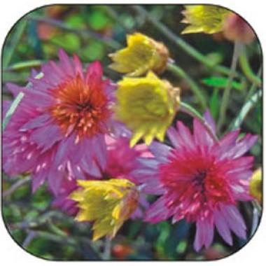 Ксерантемум (сухоцвет) смесь фото