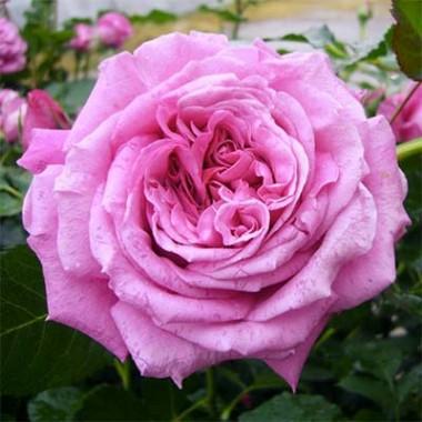 Роза La Roche Guyon смотреть
