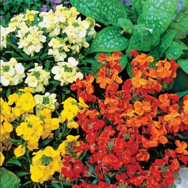 Семена двулетних цветов купить