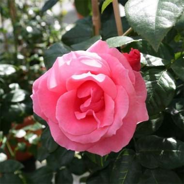 Роза плетистая Lawinia интернет-магазин
