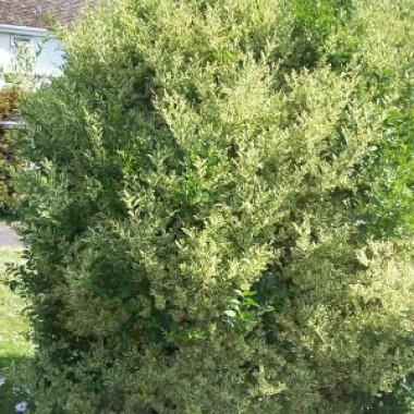 Лигуструм Argenteum фото