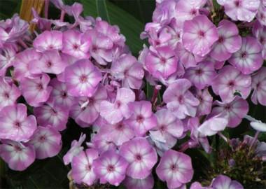 Флокс Lilac Time в киеве