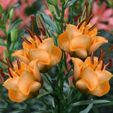 Лилия Apricot Fudge фото цена