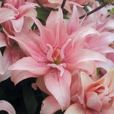 Азиатские лилии гибриды