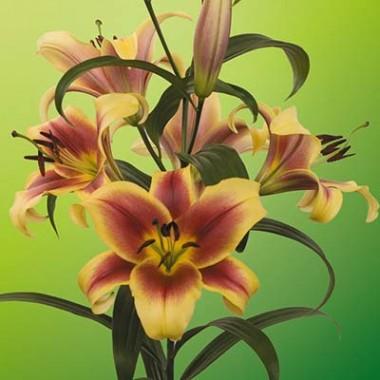 OT лилии гибриды