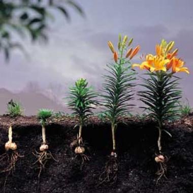 Лилия Lancifolium Splendens в киеве