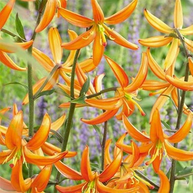 Лилия Orange Marmalade фото