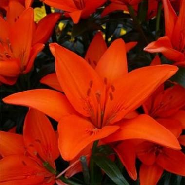 Лилия Orange Ton почтой