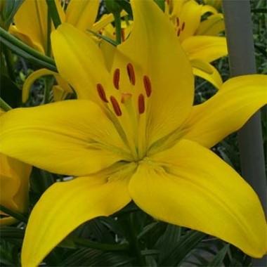 Лилия Yellow County фото цена