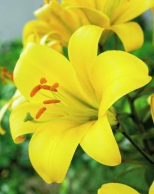 Лилия Yellow Planet фото цена