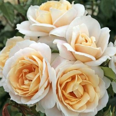 Роза Lions Rose в киеве