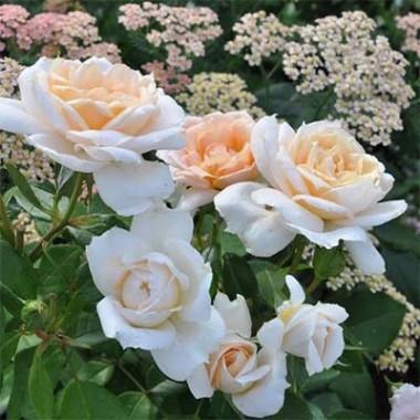 Роза Lions Rose интернет-магазин