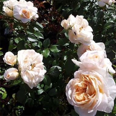 Роза Lions Rose почтой