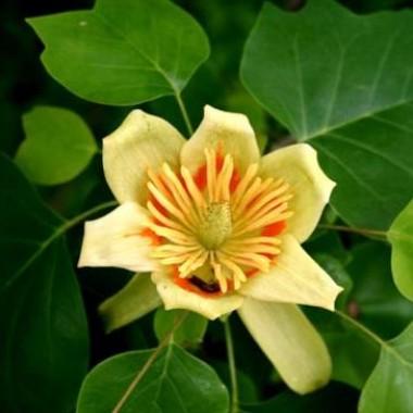 Тюльпановое дерево смотреть