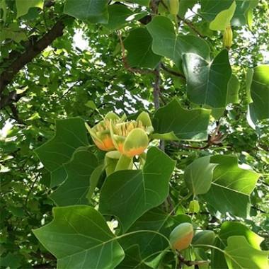 Тюльпановое дерево фото цена