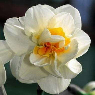 Нарцисс Madison фото
