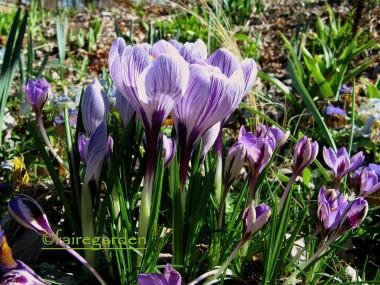 Крокус Spring Beauty смотреть