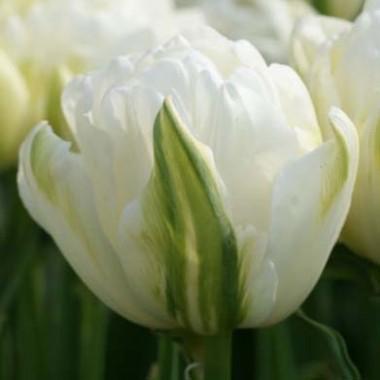 Тюльпан Maureen Double купить онлайн