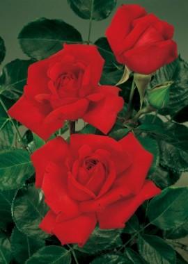 Роза Winschoten описание
