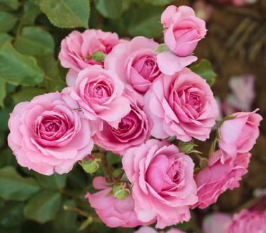 Роза плетистая Climbing Bonica 98 почтой