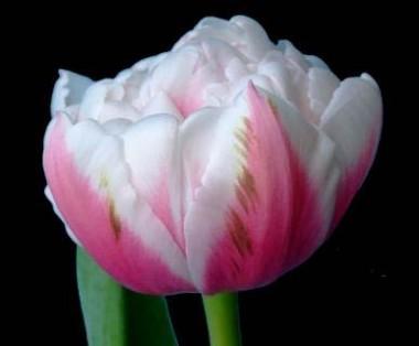 Тюльпан Melrose в киеве