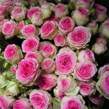 Роза Mimi Eden описание