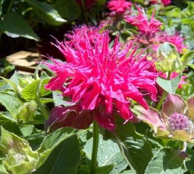 Монарда Pink Supreme фото