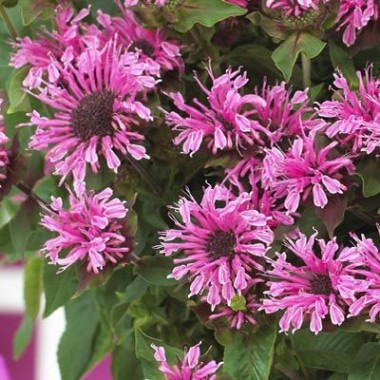 Монарда Cranberry Lace описание