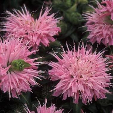 Монарда Petit Pink Delight интернет-магазин