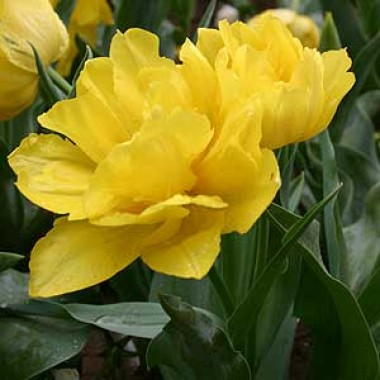 Тюльпан Monte Peony почтой