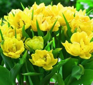 Тюльпан Monte Peony фото цена