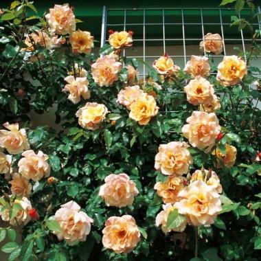 Роза Moonlight в киеве