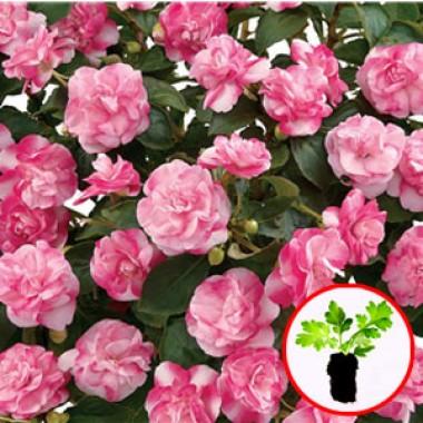 Бальзамин Musica Bicolor Pink почтой