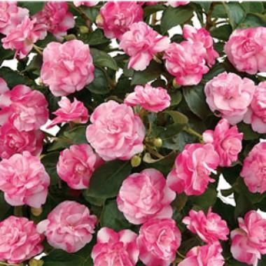 Бальзамин Musica Bicolor Pink описание