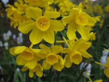 Нарцисс Twinkling Yellow описание