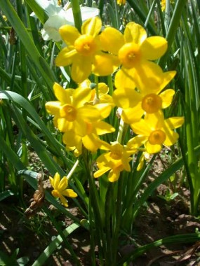 Нарцисс Twinkling Yellow интернет-магазин
