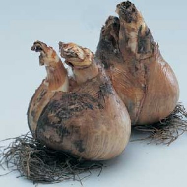 Нарцисс Love Сall купить онлайн