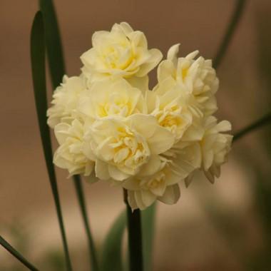 Нарцисс таццета Erlicheer в киеве