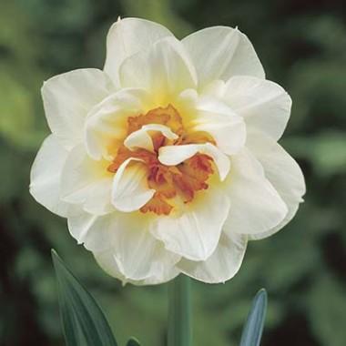 Нарцисс Flower Drift интернет-магазин