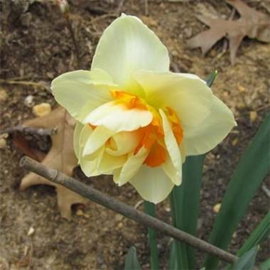 Нарцисс Flower Parade смотреть