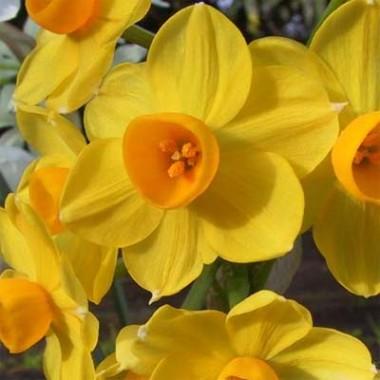 Нарцисс таццета Grand Soleil d'Or фото