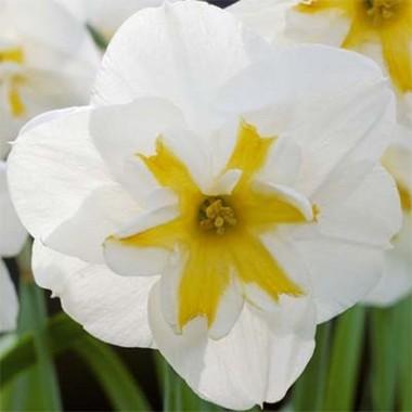 Нарцисс Lemon Beauty купить онлайн