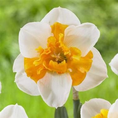 Нарцисс Love Сall фото цена