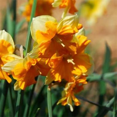 Нарцисс Mondragon фото цена