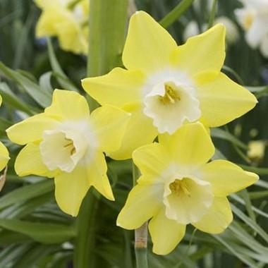 Нарцисс Pipit фото цена